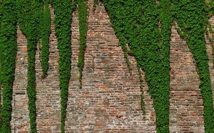 Begroeiing van een muur staat leuk, maar is heel destructief.
