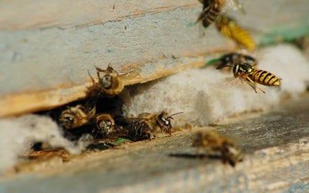 Wespen zorgen in Nederland in de zomermaanden voor veel overlast. Slechts 1 kleine opening is voldoende om wespennesten te krijgen. Ongedierte Bestrijding